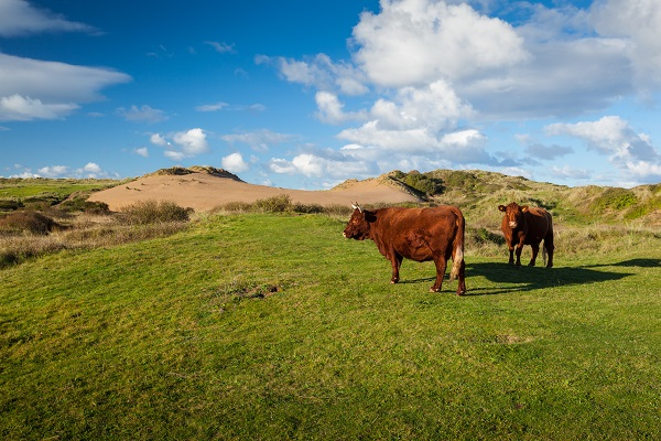Cows Braunton Burrows